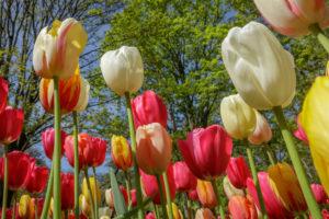 bollen, tulpen, tulips, lisse