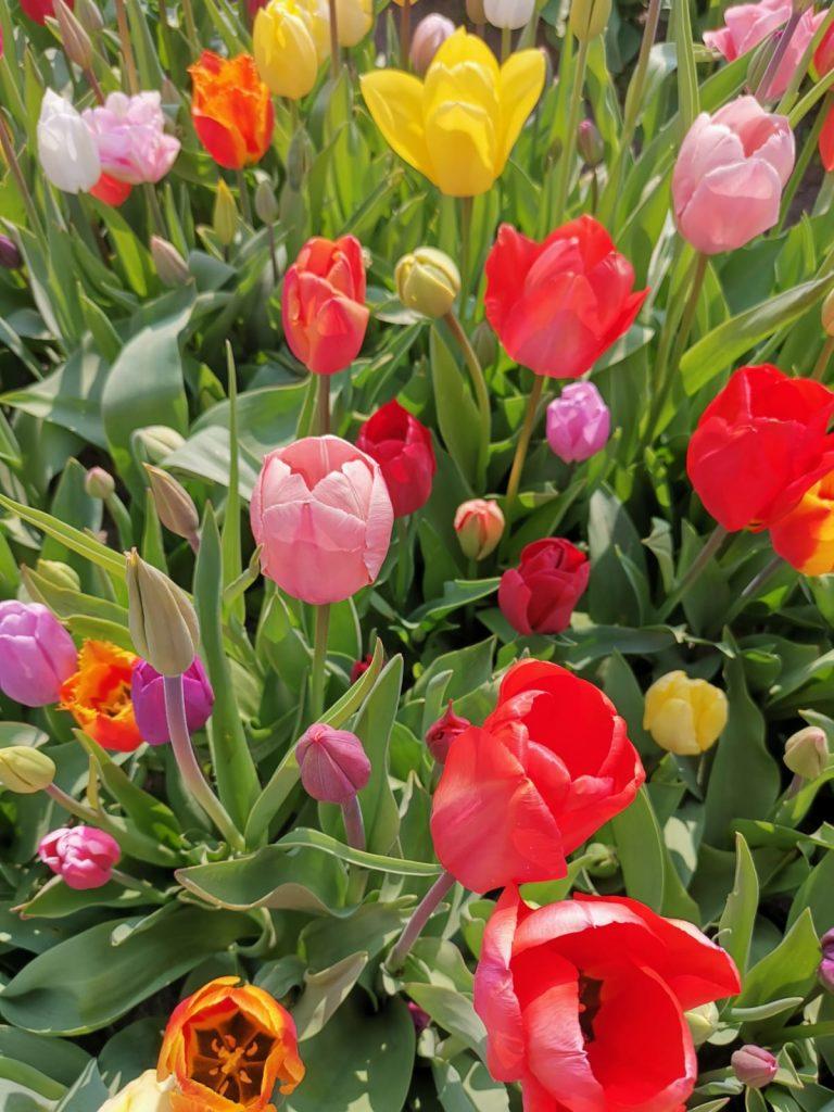 bulbs, keukenhof, tulips